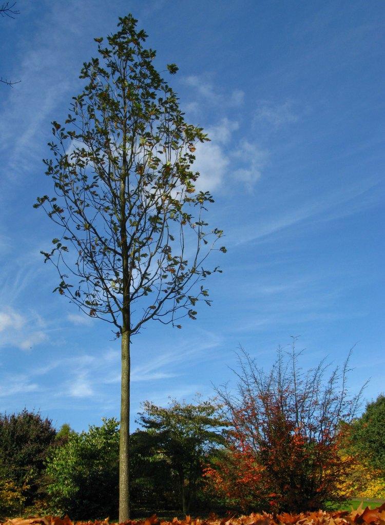 Tall Tree - Kew