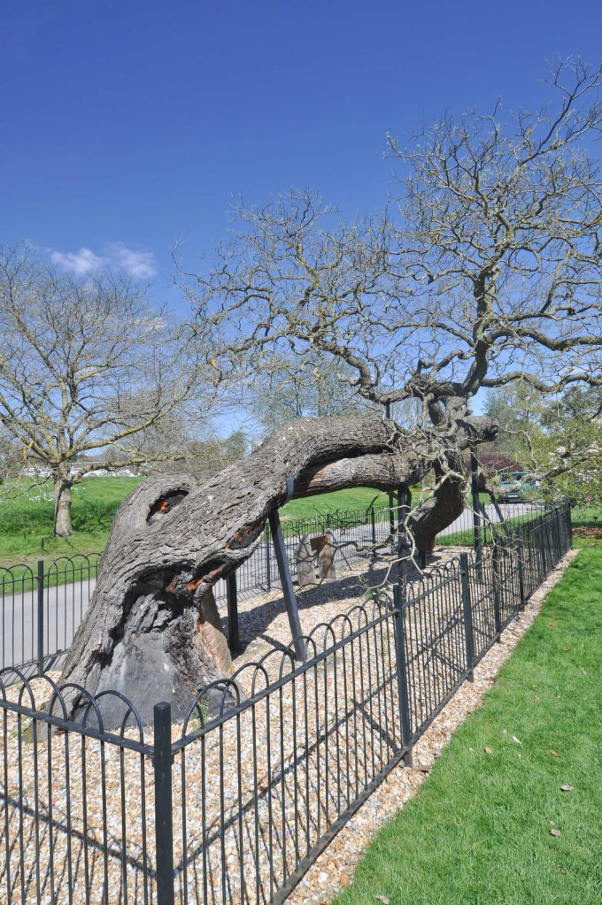 Old Kew Tree
