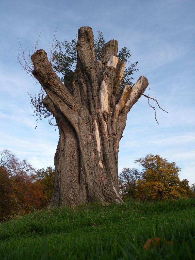Old Hampstead Tree