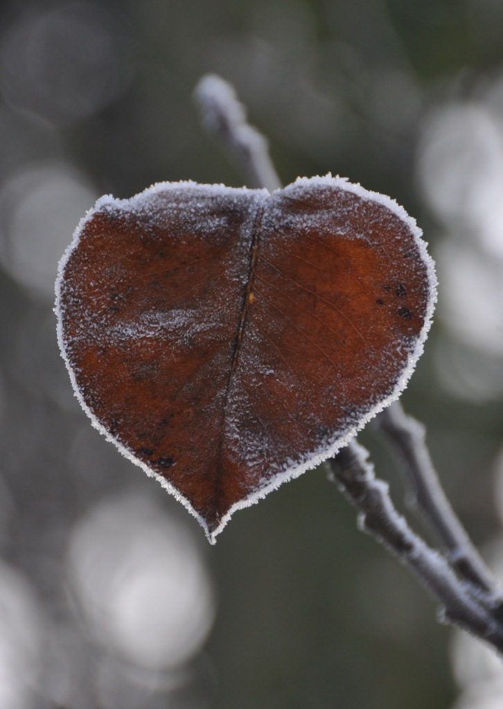 Leaf Heart - Frost
