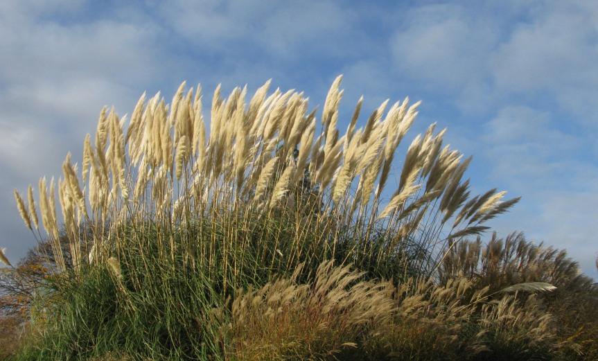 SOFT - Pampas Grass Kew Gardens