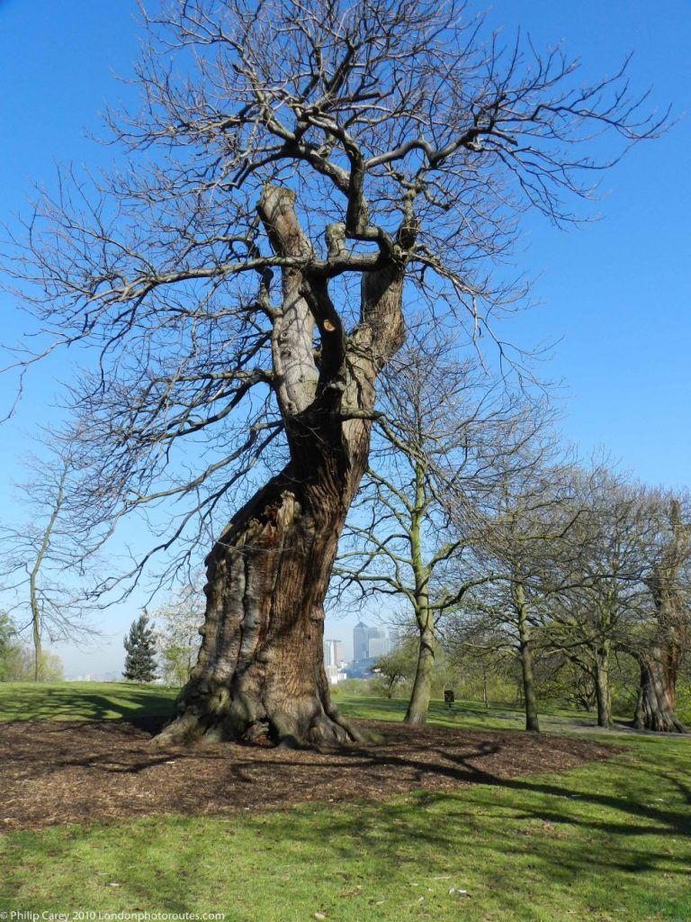 London Runs and Photo Routes - Old Oak Tree - Greenwich Park
