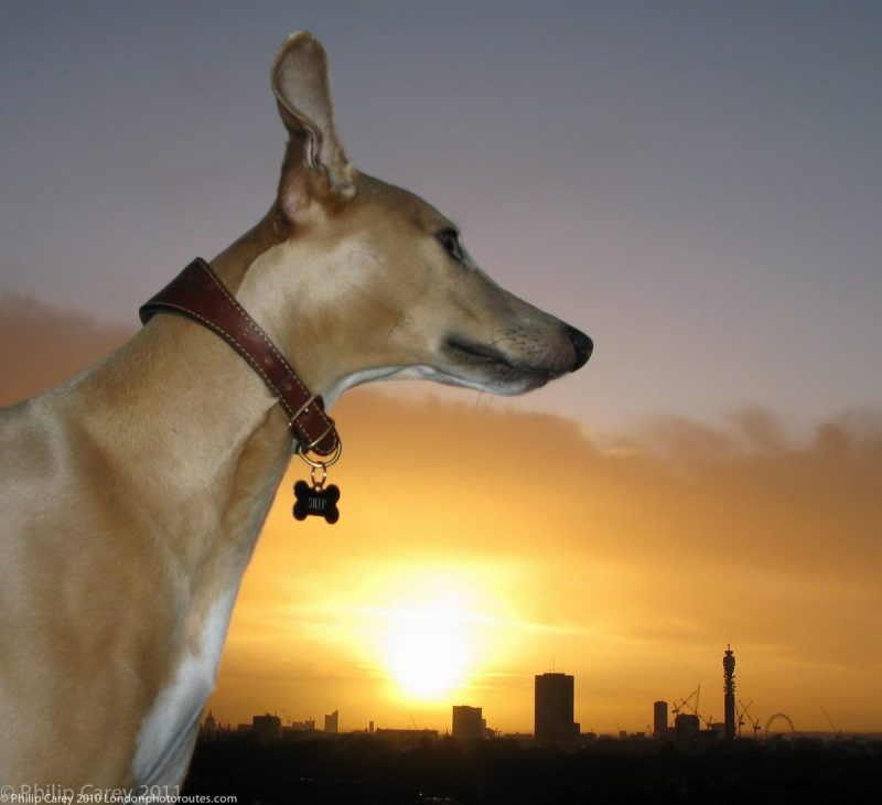London Runs and Photo Routes -Snip the Whippet on top of Primrose Hill - Sunrise